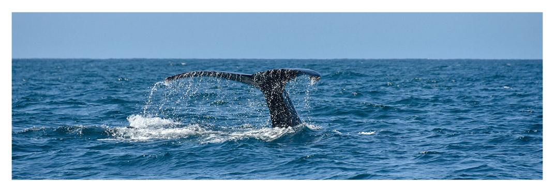 Avistar-ballenas-puerto-rico-gran-canaria