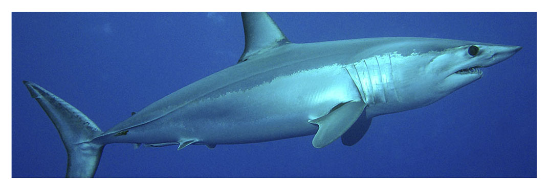 potentially-dangerous-shark-species-to-swimmers