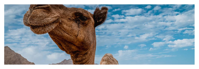 viaje-camello-villa-gran-canarias